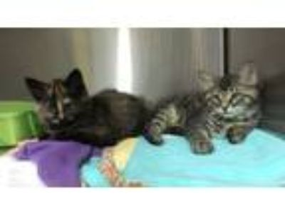 Adopt Adorable Kittens! 10-12 weeks old! a Maine Coon, Tabby