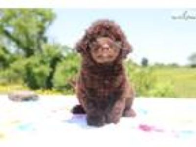 AnnaBell Chocolate F1 Aussiedoodle SOON Service