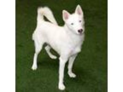 Adopt Beluga a White Husky / Collie / Mixed dog in Burlingame, CA (25317243)