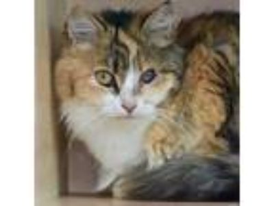 Adopt Queen Queeny a Orange or Red Domestic Longhair / Domestic Shorthair /