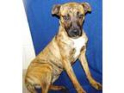 Adopt Rusty a Brindle Boxer / Jack Russell Terrier / Mixed dog in Greenville