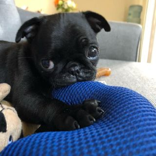 She is a beautiful little Pug puppy