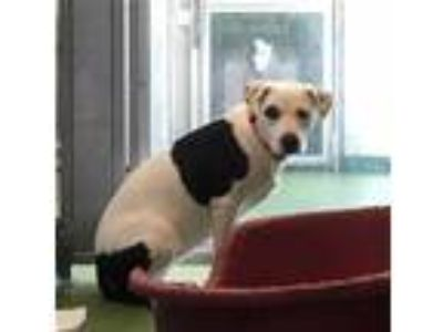 Adopt FLOPSY a White - with Black American Pit Bull Terrier / Mixed dog in