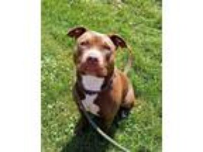 Adopt Jill a Brown/Chocolate American Pit Bull Terrier / Mixed dog in