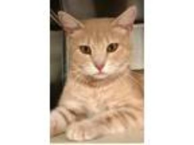 Adopt Jewels a American Shorthair