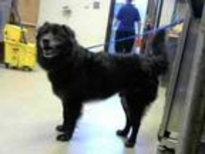 Adopt DEXTER a Border Collie, Labrador Retriever