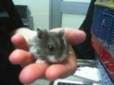 Adopt HAPPY a Silver or Gray Hamster / Mixed small animal in Grand Prairie