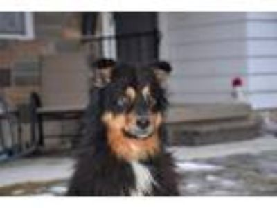 Adopt Co Co Chanel a Australian Shepherd / Mixed dog in Laingsburg