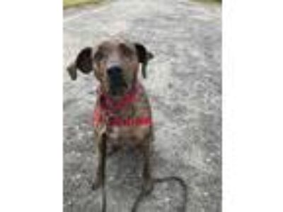 Adopt Guy a Brindle Plott Hound / Mixed dog in Ossining, NY (23638302)