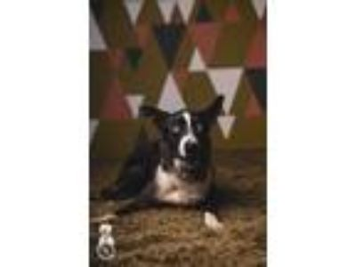 Adopt Polly a Gray/Silver/Salt & Pepper - with White Catahoula Leopard Dog /