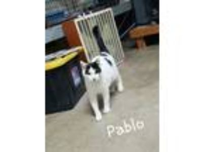 Adopt Pablo a Domestic Short Hair