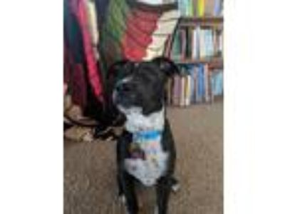 Adopt Lucy a Black - with White Pit Bull Terrier / Labrador Retriever / Mixed