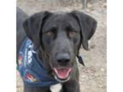 Adopt General a Great Dane, Labrador Retriever