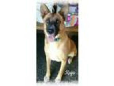 Adopt Kuja a Tan/Yellow/Fawn - with Black Labrador Retriever / Mixed dog in