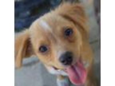 Adopt Buzz a Tan/Yellow/Fawn Mixed Breed (Small) / Mixed dog in Pleasanton