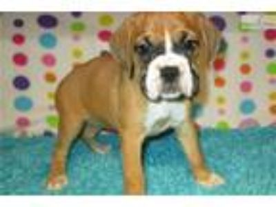 AKC registered female Boxer puppy (Delilah)