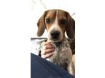 Adopt Maeve a Tricolor (Tan/Brown & Black & White) Beagle dog in Plymouth