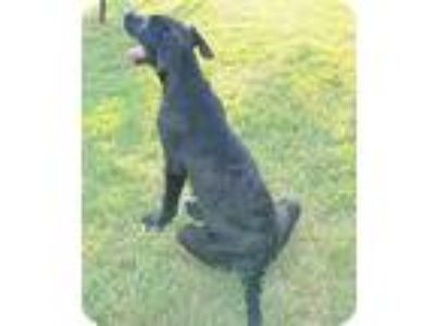 Adopt Andy a Black - with White Labrador Retriever / Whippet / Mixed dog in
