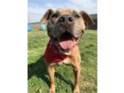 Adopt Otter - In A Foster Home a Pit Bull Terrier