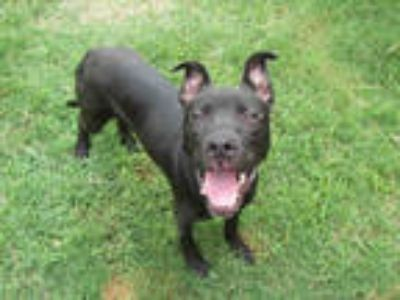 Adopt CHABO a Black - with White American Pit Bull Terrier / Mixed dog in Plano