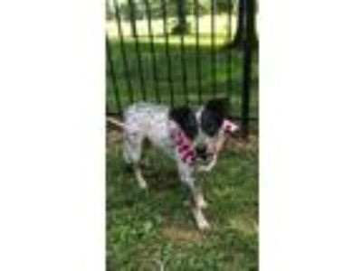 Adopt Piper a White - with Black Blue Heeler / Mixed dog in Princeton