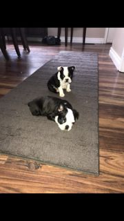 Boston Terrier PUPPY FOR SALE ADN-108621 - Christmas Puppies For Sale