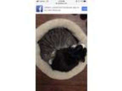 Adopt Dilbert a Black & White or Tuxedo RagaMuffin / Mixed cat in West Covina