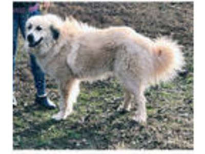 Adopt Clyde M a Great Pyrenees