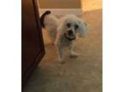 Adopt MAX a White Bichon Frise / Mixed dog in St. Peters, MO (24996209)