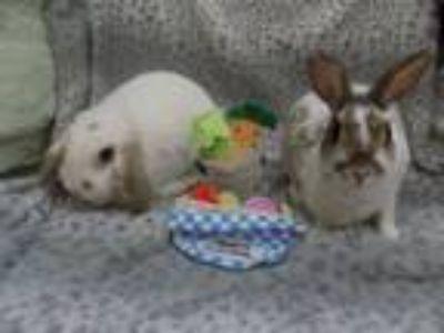 Adopt Petunia & Drew a Lop Eared, Dwarf