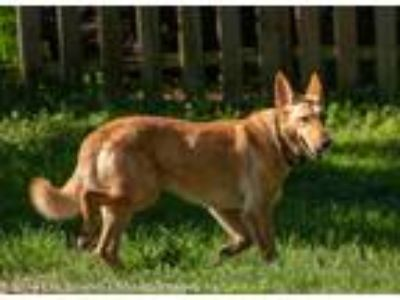 Adopt Reba a Tan/Yellow/Fawn - with White German Shepherd Dog / Mixed dog in
