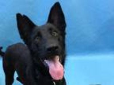 Adopt Princess a Black Shepherd (Unknown Type) / Mixed dog in Coon Rapids
