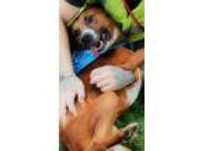 Adopt Bogart a Tricolor (Tan/Brown & Black & White) Boxer / Shepherd (Unknown