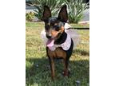 Adopt Victoria a Black - with Tan, Yellow or Fawn Miniature Pinscher / Mixed dog