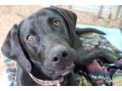 Adopt Uno a Black Labrador Retriever / Hound (Unknown Type) / Mixed dog in Pine