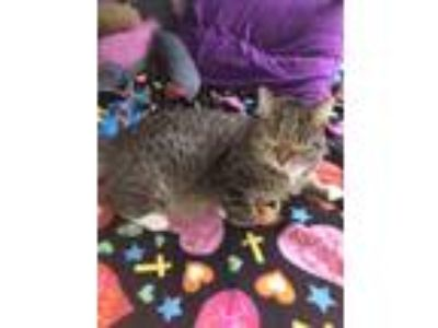 Adopt Dinah a Tan or Fawn Tabby American Wirehair / Mixed cat in Montgomery