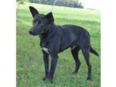 Adopt Zeb a Black - with White Australian Cattle Dog / Labrador Retriever /