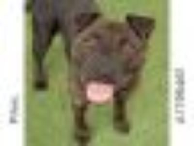 PINAL Pit Bull Terrier Dog