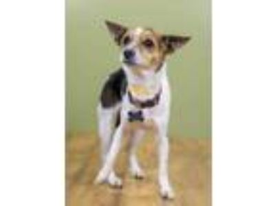 Adopt Maeve a Tan/Yellow/Fawn Rat Terrier / Mixed dog in West Allis