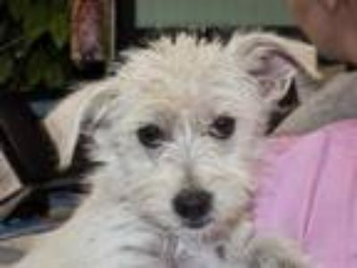 Adopt TULU a Norfolk Terrier, Mixed Breed