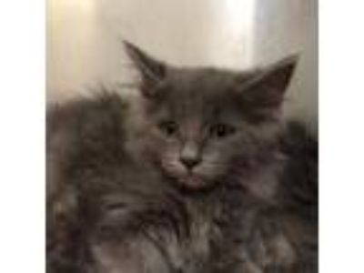 Adopt Brussels a Gray or Blue Domestic Longhair / Domestic Shorthair / Mixed cat