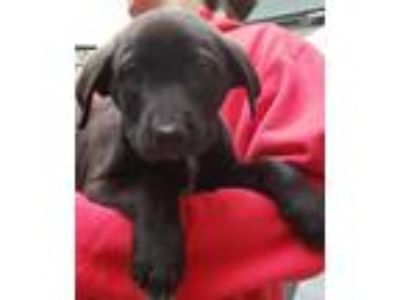 Adopt Lab mix puppies - Available after 05/12 a Black Labrador Retriever / Mixed