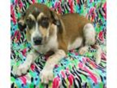 Adopt Bandit a Brown/Chocolate German Shepherd Dog / Hound (Unknown Type) /