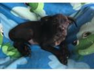 Adopt India (Fostered in TN) a Black Labrador Retriever / Pit Bull Terrier /
