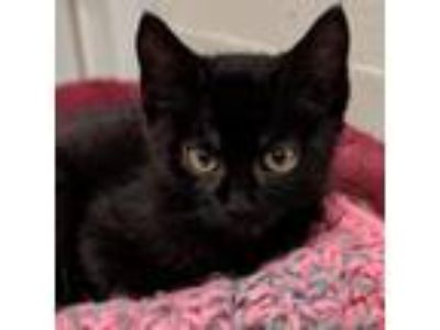 Adopt Damien a All Black Domestic Shorthair cat in Meridian, ID (25881089)