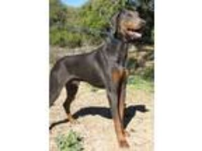 Adopt Truman a Gray/Blue/Silver/Salt & Pepper Doberman Pinscher / Mixed dog in
