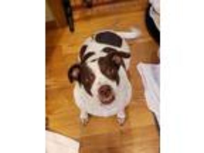 Adopt Layla a White - with Brown or Chocolate Labrador Retriever / Pointer /