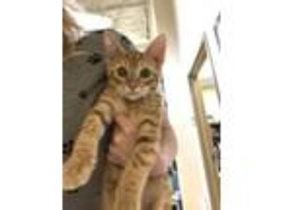 Adopt Chowder a Orange or Red Domestic Shorthair / Domestic Shorthair / Mixed