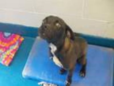 Adopt ARMANI a Black - with White American Pit Bull Terrier / Mixed dog in