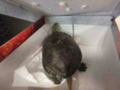 Adopt TANK a Turtle - Other / Mixed reptile, amphibian, and/or fish in Los